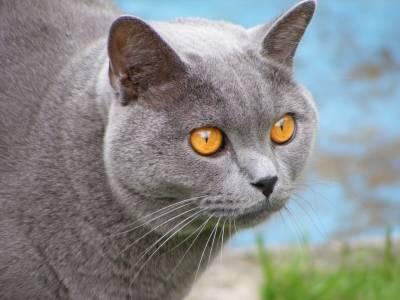 Britská modrá kočka - kocour Leopold (*duben 2007)